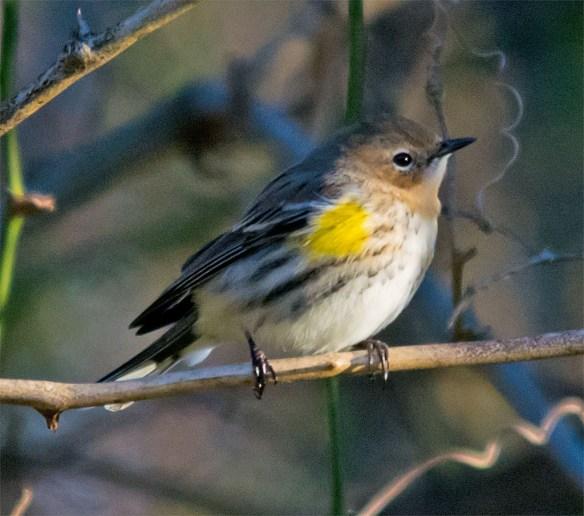 Yellow Rumped Warbler 2016-4