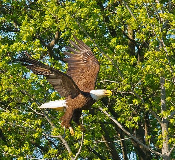 Bald Eagle 2016-44