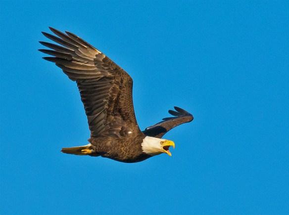 Bald Eagle 2016-45