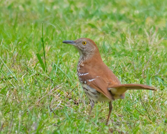 Brown Thrasher 2016-1