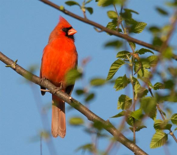 Cardinal 2016-6
