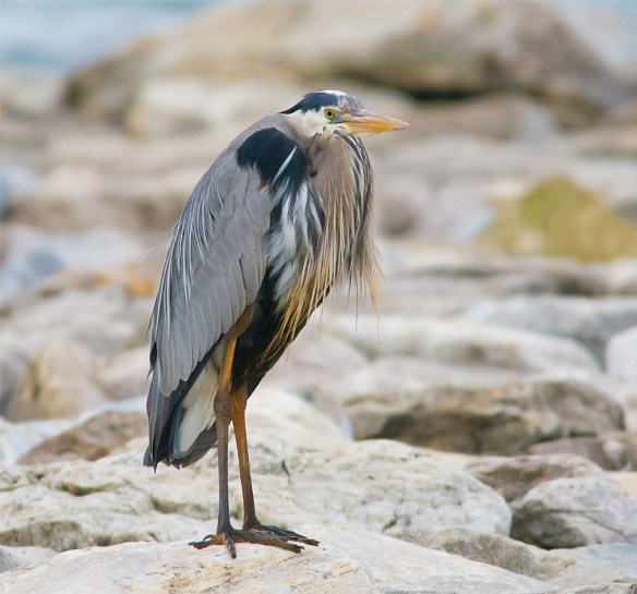 Great Blue Heron 2016-10
