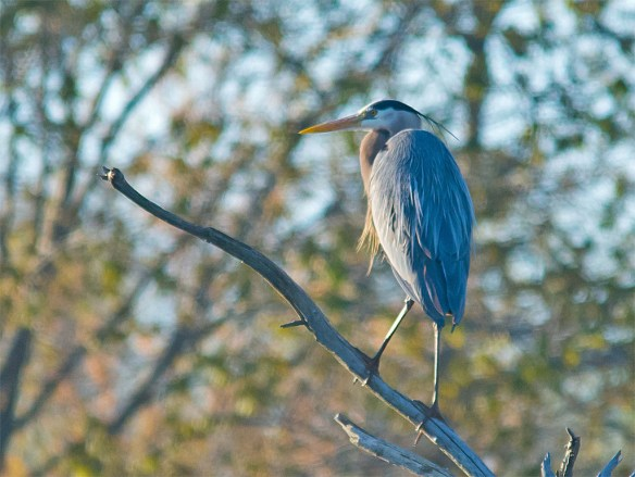 Great Blue Heron 2016-7