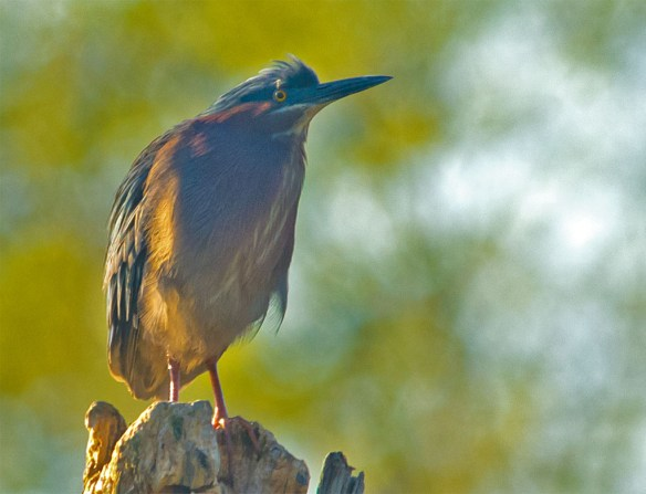 Green Heron 2016-2