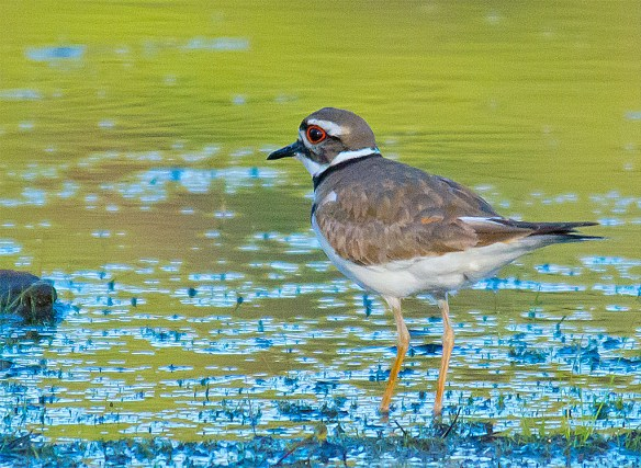 Killdeer 2016-3