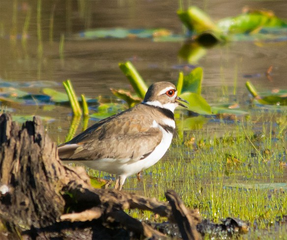 Killdeer 2016-4