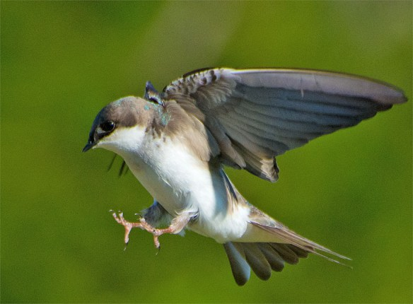 Tree Swallow 2016-17