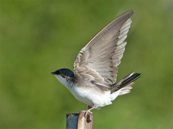 Tree Swallow 2016-21