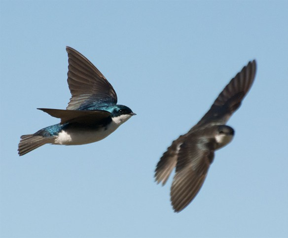 Tree Swallow 2016-24