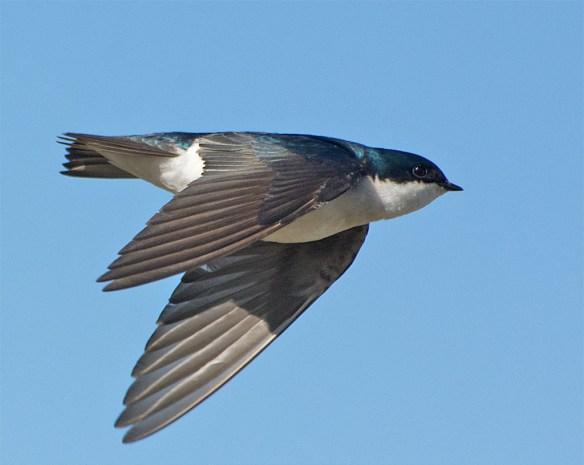 Tree Swallow 2016-25