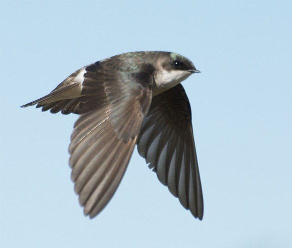 Tree Swallow 2016-27