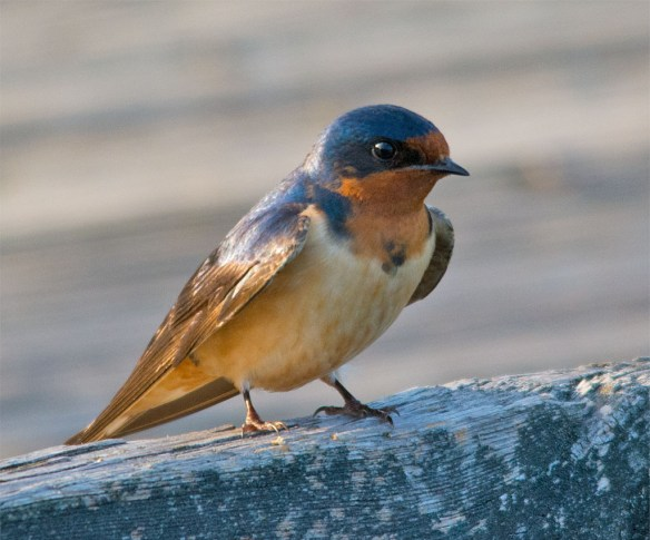 Barn Swallow 2016-6
