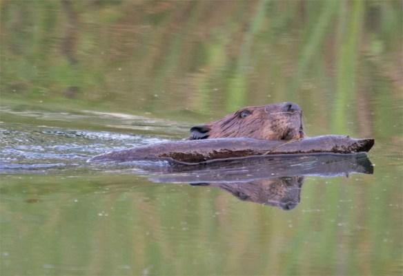 Beaver 107