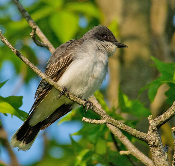 Eastern Kingbird 2016-9