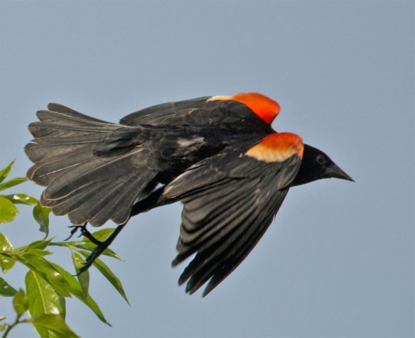Red Winged Blackbird 2016-26