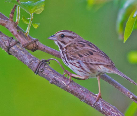 Song Sparrow 2016-9