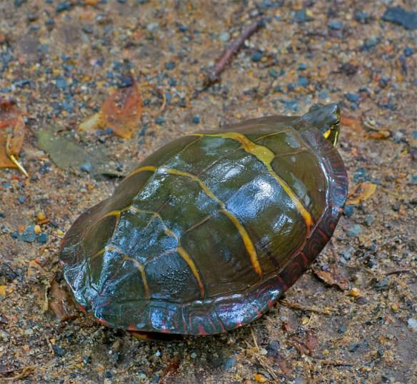 Turtle 46