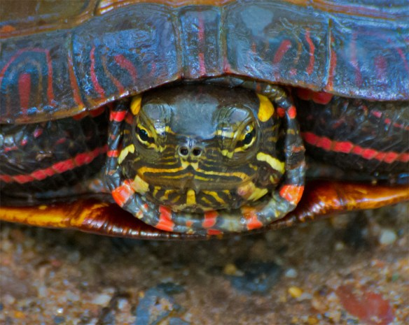 Turtle 47