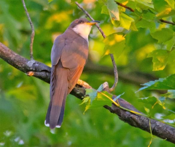 Yellow Billed Cuckoo 2016-1