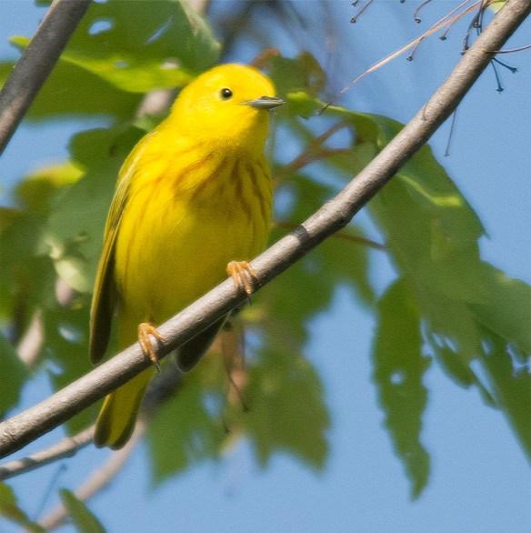 Yellow Warbler 2016-10