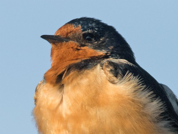 Barn Swallow 2016-22