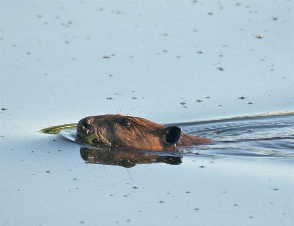 Beaver 110