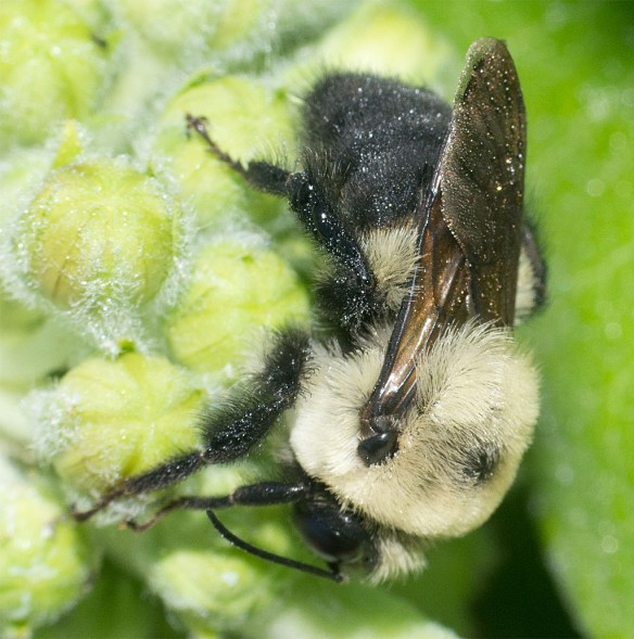 Bee 218
