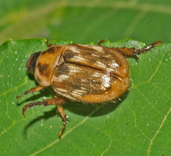 Beetle 23