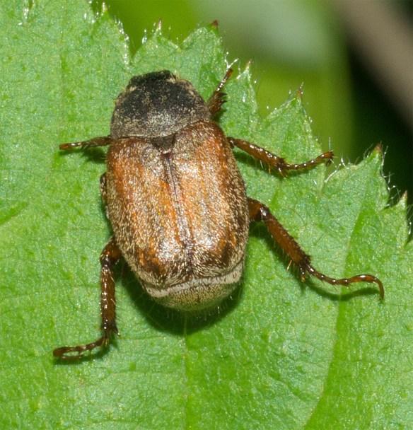 Beetle 24