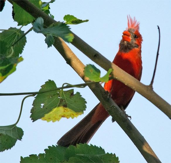 Cardinal 2016-16