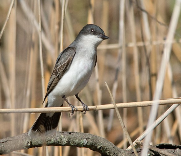 Eastern Kingbird 2016-25