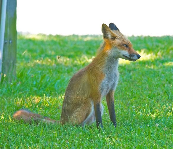 Fox 50