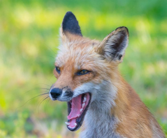 Fox 51