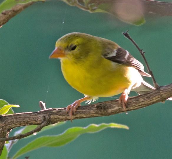 Goldfinch 2016-9