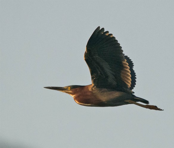 Green Heron 2016-27