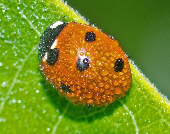 Ladybug 48