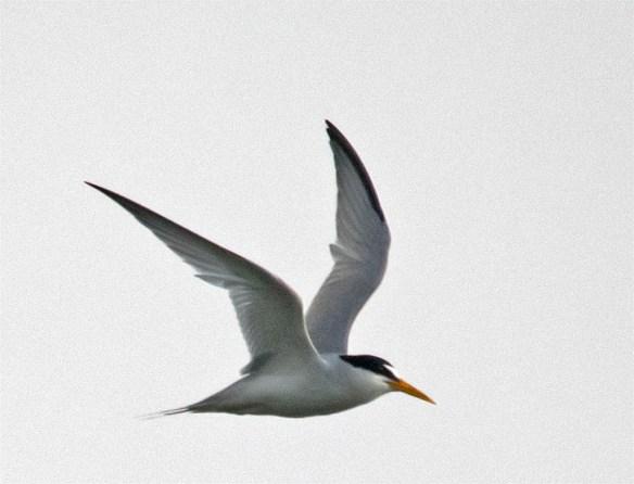 Least Tern 2016-1