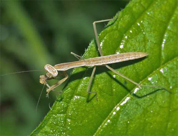 Praying Mantis 49