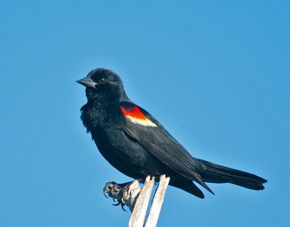 Red Winged Blackbird 2016-39