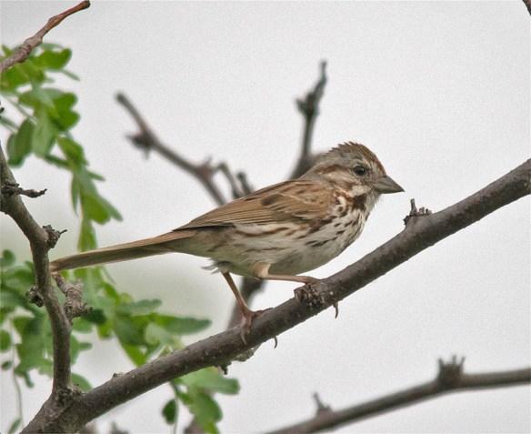 Song Sparrow 2016-10