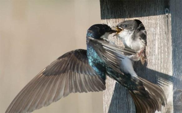 Tree Swallow 2016-66