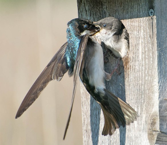 Tree Swallow 2016-68