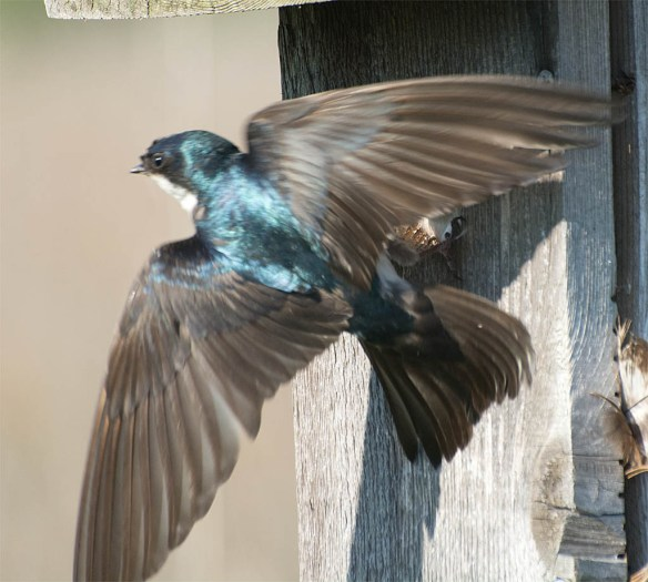 Tree Swallow 2016-70