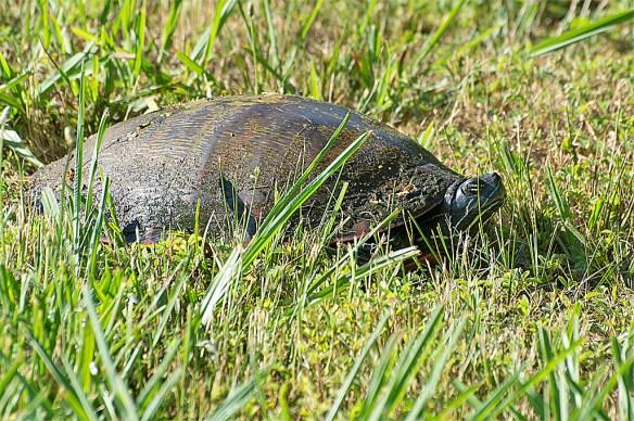 Turtle 54