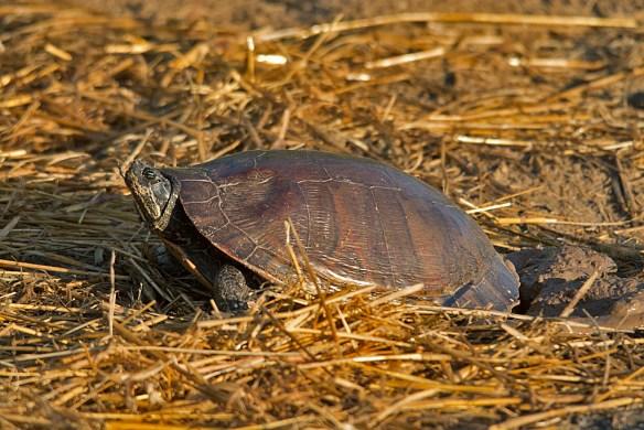 Turtle 55