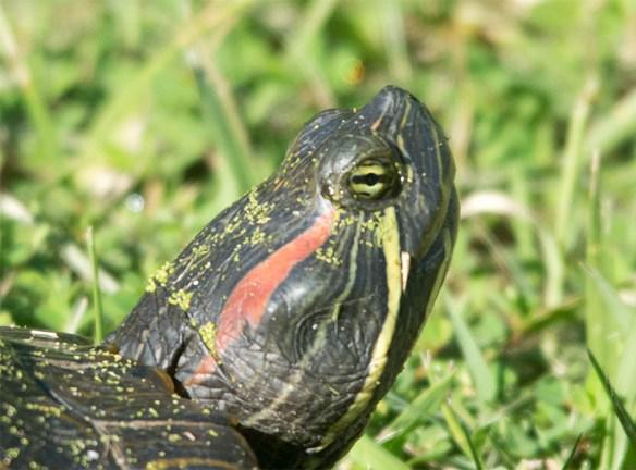 Turtle 59
