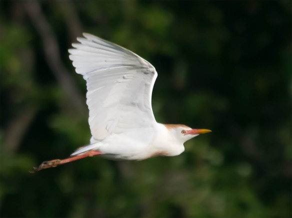 Cattle Egret 2016-16