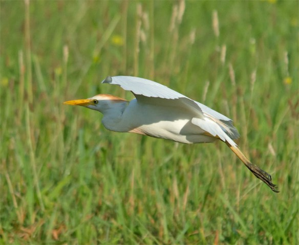 Cattle Egret 2016-17