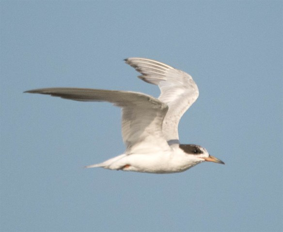 Common Tern 2016-13