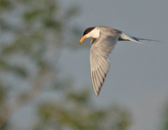 Common Tern 2016-8